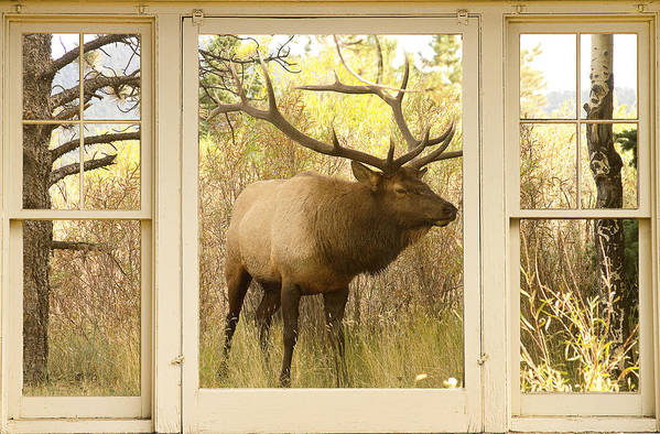 Windows Poster featuring the photograph Bull Elk Window View by James BO Insogna