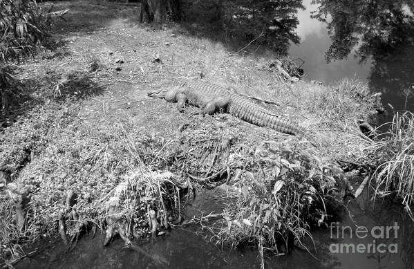 Artistic Poster featuring the photograph Sunny Gator Black And White by Joseph Baril