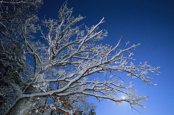 Outdoors Poster featuring the photograph Fresh Snowfall Blankets Tree Branches by Tim Laman