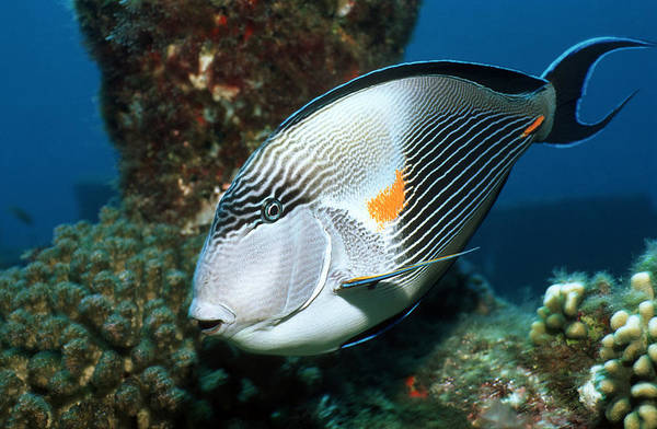 Acanthurus Sohal Poster featuring the photograph Sohal Surgeonfish by Georgette Douwma
