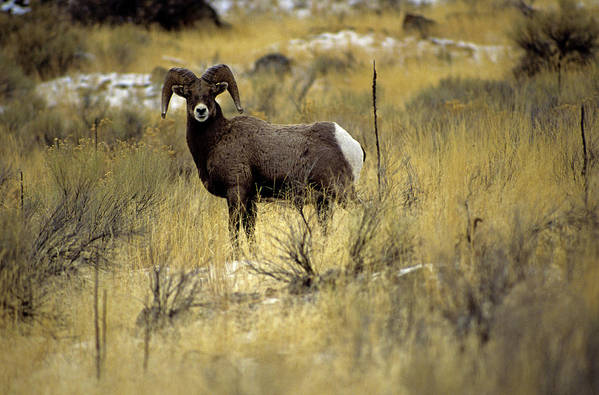Horizontal Poster featuring the photograph Bighorn Sheep (ovis Canadensis) by Altrendo Nature