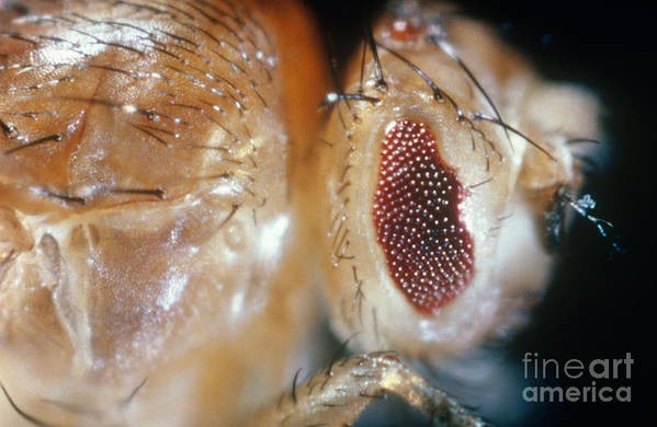 Macro Photo Poster featuring the photograph Drosophila Mutant With Bar Eyes by Science Source