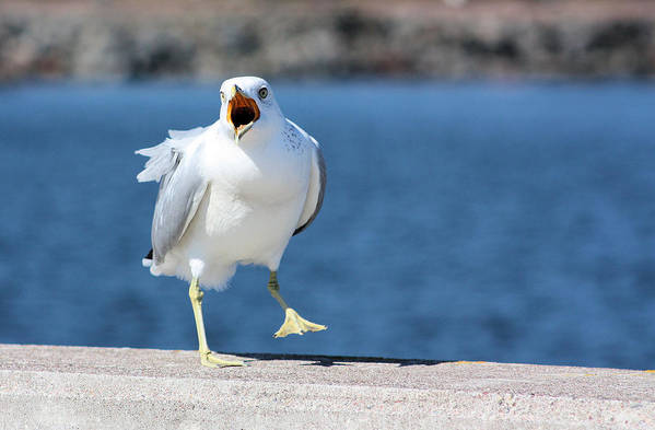 Seagull Poster featuring the photograph Putting His Foot Down by Kristin Elmquist
