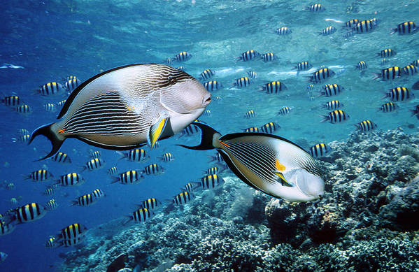 Surgeonfish Poster featuring the photograph Sohal Surgeonfish by Georgette Douwma