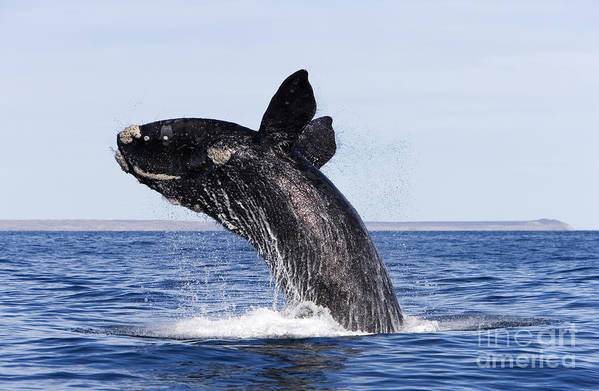 Animalia Poster featuring the photograph Southern Right Whale by Francois Gohier and Photo Researchers