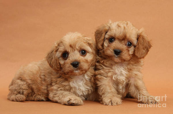 Animal Poster featuring the photograph Cavapoo Pups by Mark Taylor