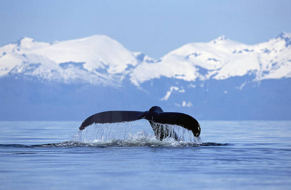 Mp Poster featuring the photograph Humpback Whale Megaptera Novaeangliae by Konrad Wothe