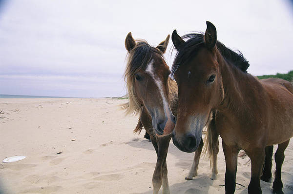 North America Poster featuring the photograph Two Curious Wild Horses On The Beach by Nick Caloyianis
