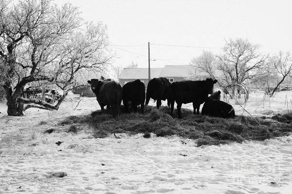 Feed Poster featuring the photograph feed and fresh grass laid out for cows on winter farmland Forget Saskatchewan Canada by Joe Fox