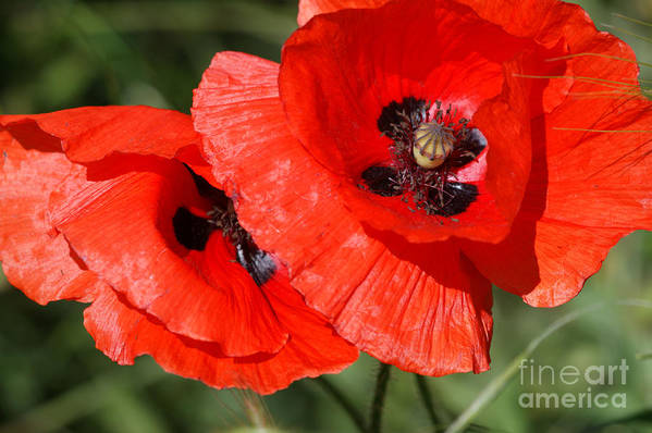 Poppies Poster featuring the photograph Beautiful Poppies 2 by Carol Lynch