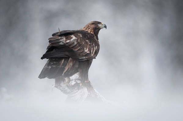 Female Animal Poster featuring the photograph Golden Eagle by Andy Astbury