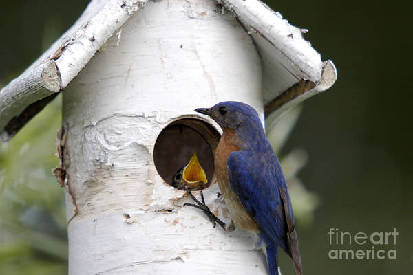 Bluebird Poster featuring the photograph Eastern Bluebird by Linda Freshwaters Arndt