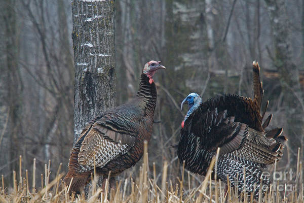 Eastern Wild Turkey Poster featuring the photograph Jake Eastern Wild Turkeys by Linda Freshwaters Arndt