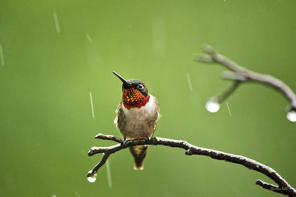Hummingbird Poster featuring the photograph Another Rainy Day Hummingbird by Christina Rollo