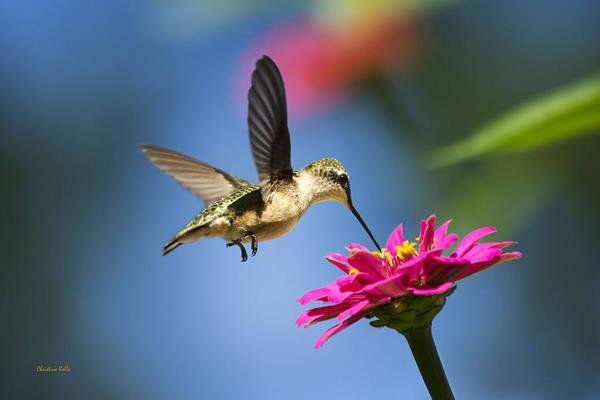 Hummingbird Poster featuring the photograph Art Of Hummingbird Flight by Christina Rollo