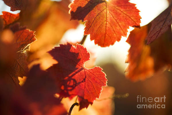 California Poster featuring the photograph Autumn Grapevine Leaves by Charmian Vistaunet