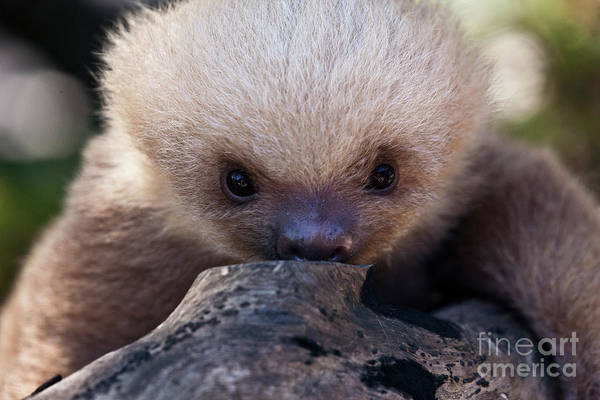 Sloth Poster featuring the photograph Baby Sloth 2 by Heiko Koehrer-Wagner