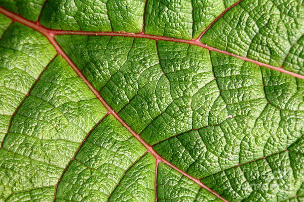 Plant Poster featuring the photograph Big Green Leaf 5d22460 by Wingsdomain Art and Photography