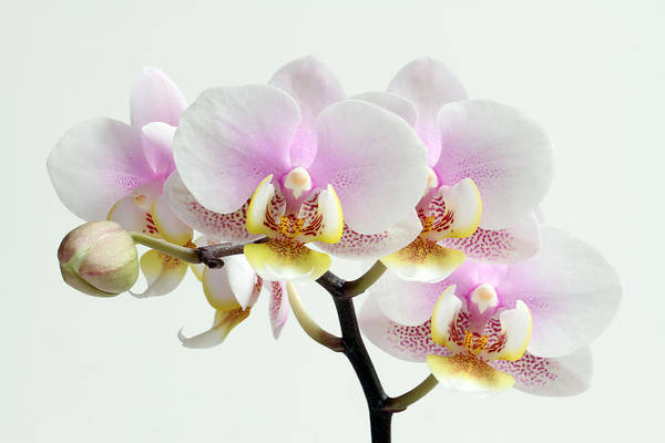 Orchid Poster featuring the photograph Blushing Orchids by Juergen Roth