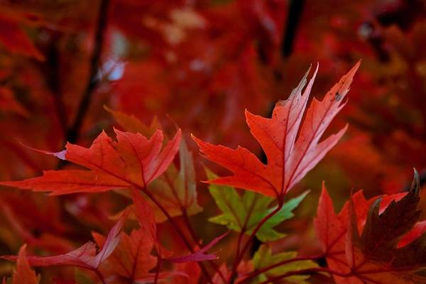 Maple Leaves Poster featuring the digital art Brilliant Red Maples by Linda Unger