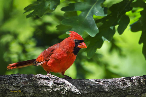 Cardinal Poster featuring the photograph Cardinal Red by Christina Rollo