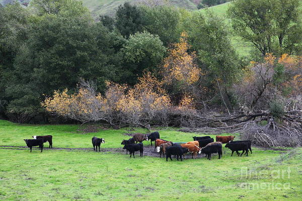 Animal Poster featuring the photograph Cattles At Fernandez Ranch California - 5d21071 by Wingsdomain Art and Photography