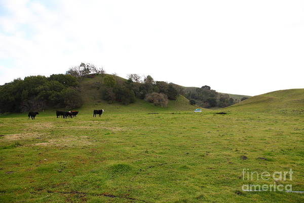 Animal Poster featuring the photograph Cattles At Fernandez Ranch California - 5d21124 by Wingsdomain Art and Photography