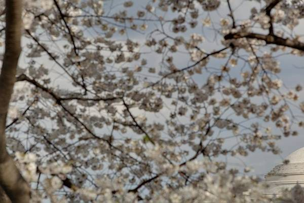 America Poster featuring the photograph Cherry Blossoms With Jefferson Memorial - Washington Dc - 011330 by DC Photographer