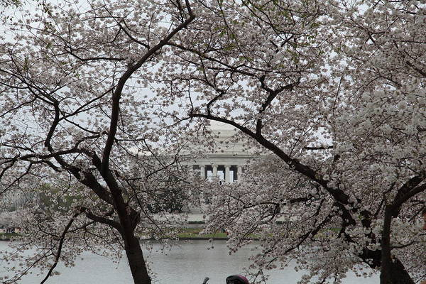 America Poster featuring the photograph Cherry Blossoms With Jefferson Memorial - Washington Dc - 011352 by DC Photographer
