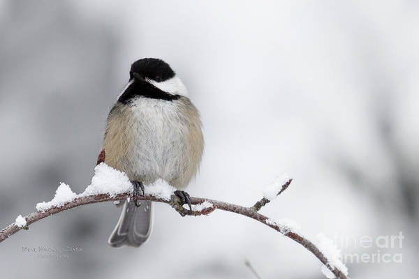 Chickadee Poster featuring the photograph Chim Chim Chickadee by Beve Brown-Clark Photography