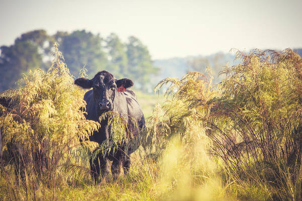 Cattle Poster featuring the photograph Cow Hiding In The Weeds by Karen Broemmelsick