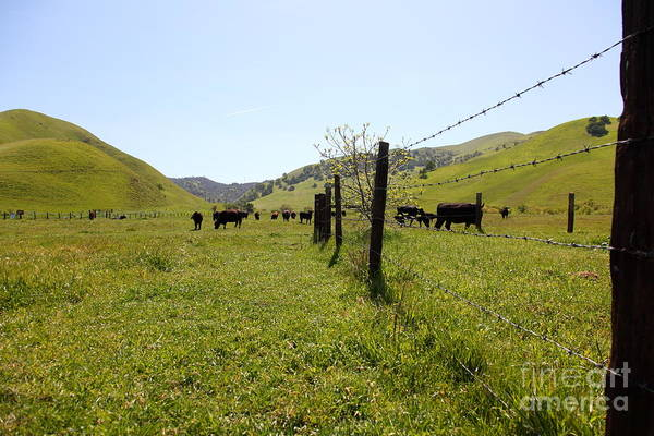 Bayarea Poster featuring the photograph Cows Along The Rolling Hills Landscape Of The Black Diamond Mines In Antioch California 5d22339 by Wingsdomain Art and Photography