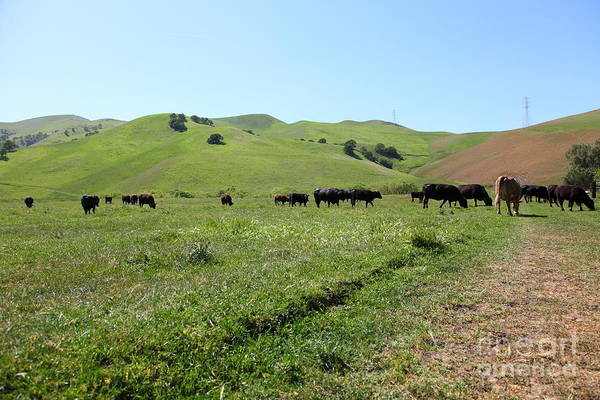 Bayarea Poster featuring the photograph Cows Along The Rolling Hills Landscape Of The Black Diamond Mines In Antioch California 5d22346 by Wingsdomain Art and Photography