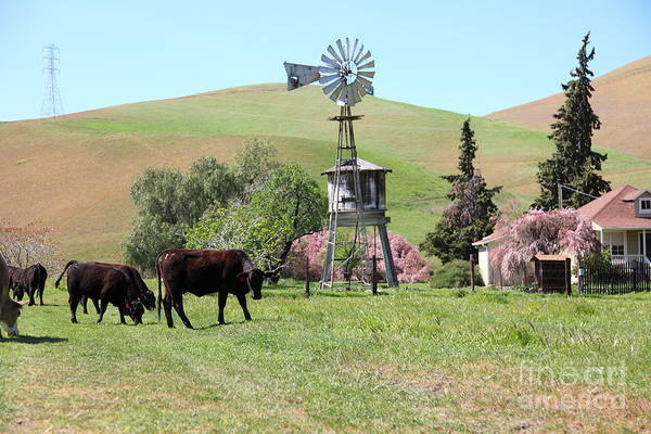 Bayarea Poster featuring the photograph Cows Home On The Ranch At The Black Diamond Mines In Antioch California 5d22345 by Wingsdomain Art and Photography