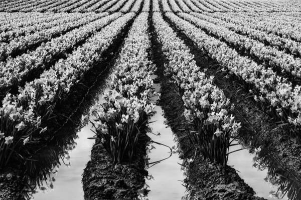 Black And White Poster featuring the photograph Daffodils Forever by Mark Kiver