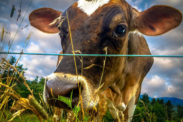 Cow Poster featuring the photograph Dairy Cow by Bob Orsillo
