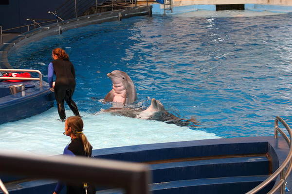 Inner Poster featuring the photograph Dolphin Show - National Aquarium In Baltimore Md - 1212174 by DC Photographer