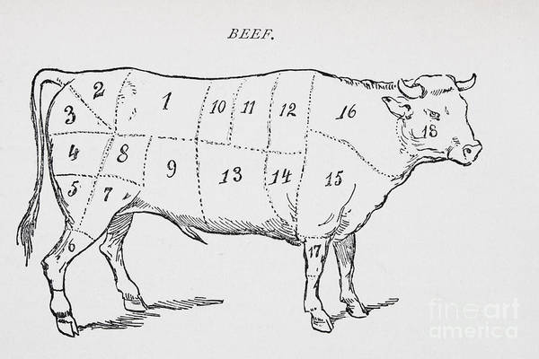 Le Boeuf; Cow; Cut; Joint; Food; Animal; Butchering; Butchery; Meat; Food Preparation; Kitchen; Beef; Bull; Cuts; Joints; Diagram; Poster; Iconic; Farm Animal; Livestock; Bullock; Illustration; Monochrome; Culinary Poster featuring the drawing Drawing Of A Bullock Marked To Show Eighteen Different Cuts Of Meat by English School