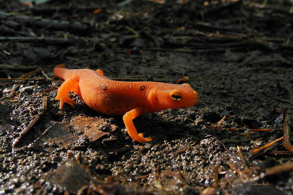 Eastern Newt Poster featuring the photograph Eastern Newt Red Eft by Christina Rollo