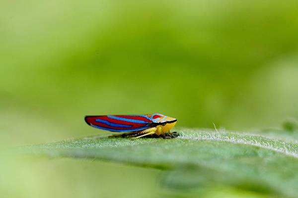 Leafhopper Poster featuring the photograph Fashion Bug - Leafhopper by Andrea Lazar