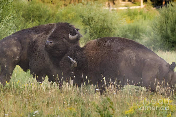 Adult Poster featuring the photograph Fighting Bison by Mike Cavaroc
