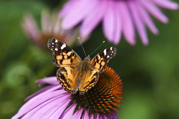Butterfly Poster featuring the photograph Fluttering Breeze Butterfly by Christina Rollo
