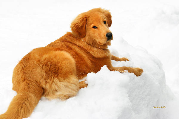 Golden Retriever Poster featuring the photograph Golden Retriever Snowball by Christina Rollo