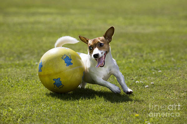 Jack Russell Poster featuring the photograph Jack Russell Terrier Plays With Ball by Johan De Meester