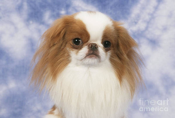 Japanese Chin Poster featuring the photograph Japanese Chin Dog by John Daniels