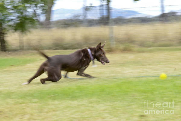 Dog Poster featuring the photograph Kelpie Chasing A Ball by Christopher Edmunds