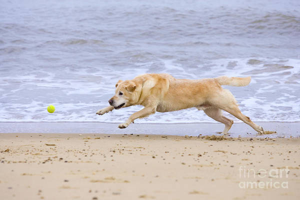 Labrador Poster featuring the photograph Labrador Dog Chasing Ball On Beach by Geoff du Feu