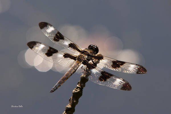 Dragonfly Poster featuring the photograph Luminous Dragonfly by Christina Rollo