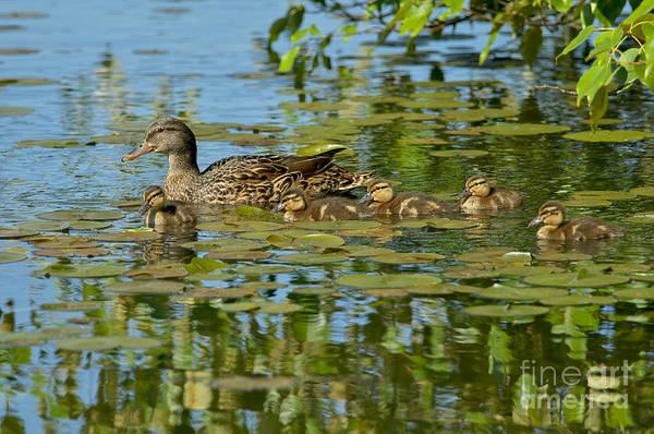 Mallard Ducks Poster featuring the photograph Mallard Mom And The Kids by Sharon Talson