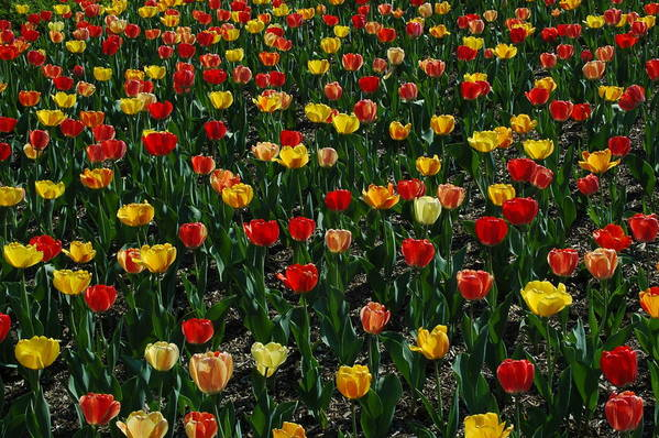 Many Tulips Poster featuring the photograph Many Tulips by Raymond Salani III